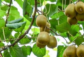 绥阳红果树瀑布、双门峡诗歌谷、东山猕猴桃釆摘汽车二日游