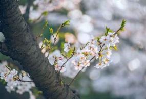 贵州平坝万亩樱花、南江大峡谷篝火晚会汽车二日游